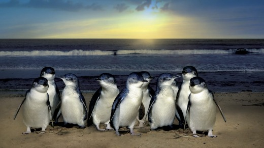 The penguins of Phillip Island entertain half a million tourists a year.