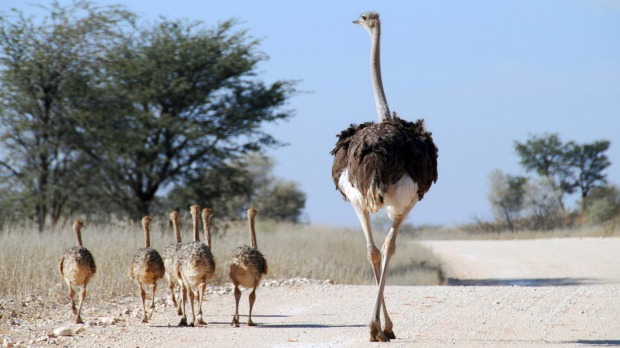 Ostrich and Chicks