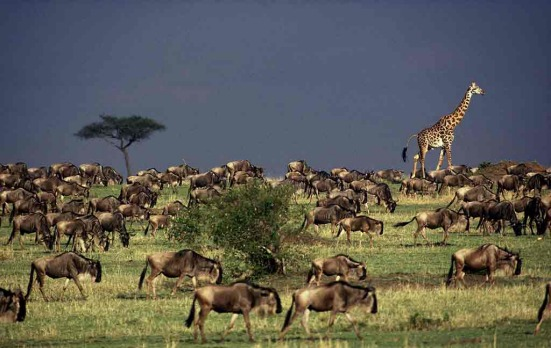 The annual wildebeest migration takes along its own giraffe.