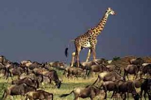 A giraffe joins the annual Wildebeest migration.