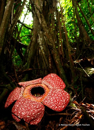 Rafflesia is a genus of parasitic flowering plants and can be found in  Sabah Malaysia.