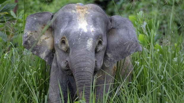 A Bornean pygmy elephant calf is seen in the Danum Valley Conservation Area of eastern Borneo state of Sabah.