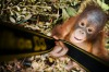 A young orangutan in Borneo.