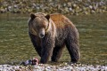 Grizzly bear watching.