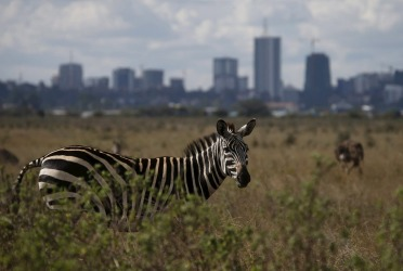 A zebra grazes at Nairobi National Park outside the Kenyan capital Nairobi.