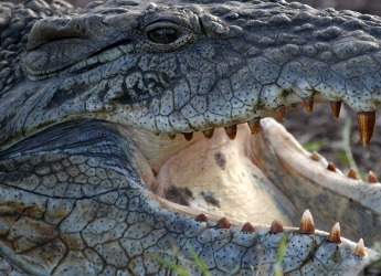 A crocodile is pictured at the Nairobi National Park outside the Kenyan capital.