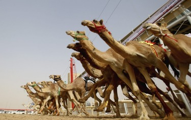 A general view of the action as camels race during Al Marmoom Heritage Festival at the Al Marmoom Camel Racetrack in Dubai, United Arab Emirates.The festival promotes the traditional sport of camel racing within the region.