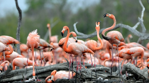 Cuba has the largest flamingo colony in the Western Hemisphere.