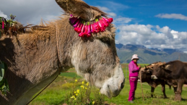 A donkey plies the  Inca terraces of Moray,  Peru.