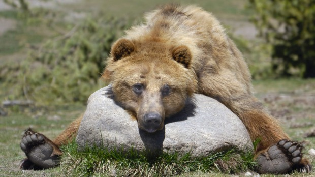 A grizzly bear takes a rest on a rock.