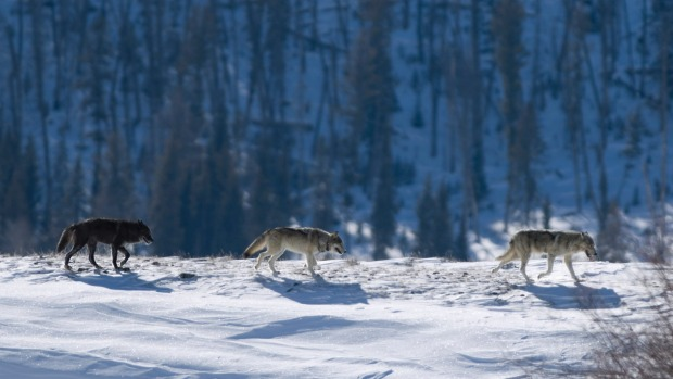 Three Druid timber wolves on snow in Yellowstone.