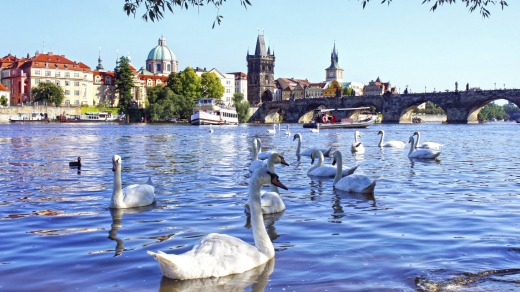 The Charles bridge and Swans on Vltava.