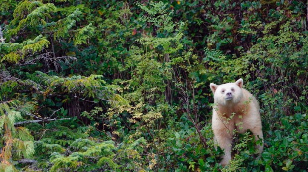 White magic ... a spirit bear in the wild.
