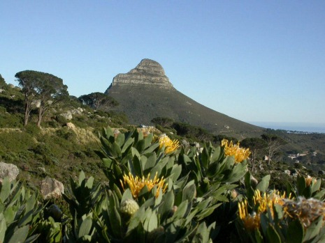 Wild flowers on the slopes of Table Mountain with Lion?s Head in the background, just 15 minutes from the Cape Town ...
