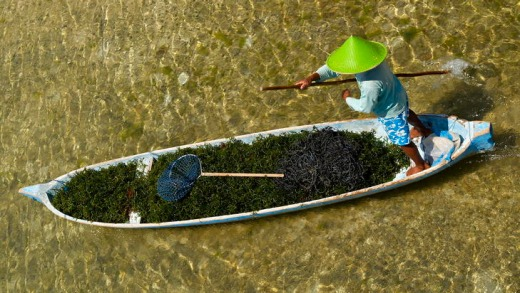 On the move ... the seaweed harvest in Lembongan.