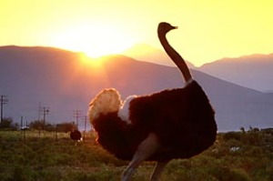 Wide, open space ... an ostrich roams on a wildlife reserve.