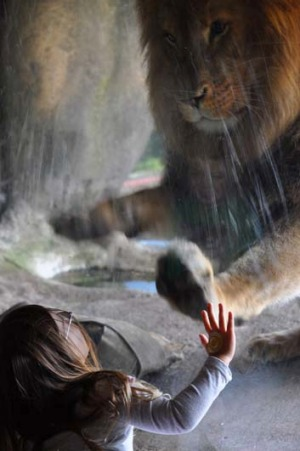 Wellington toddler Sofia Walker facing down male lion Malik at Wellington Zoo.