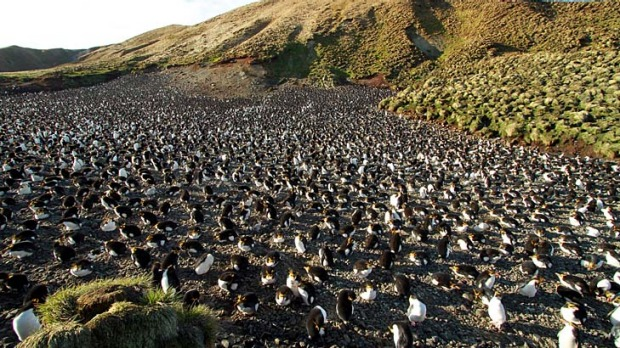 Rare and remote ... a rookery of royal penguins on Macquarie Island.