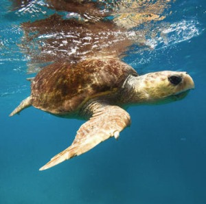 Turtles are viewed from the island's quasi-submarine.