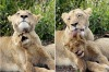 Too cute ... a lion and cub share affection in Sabi Sands.