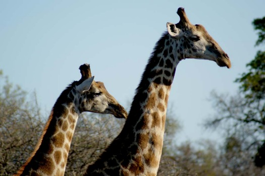 Giraffes are easy to spot.