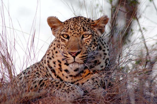 Sabi Sands is renowned for its leopard sightings. The notoriously shy animals are more relaxed in this area - in this ...