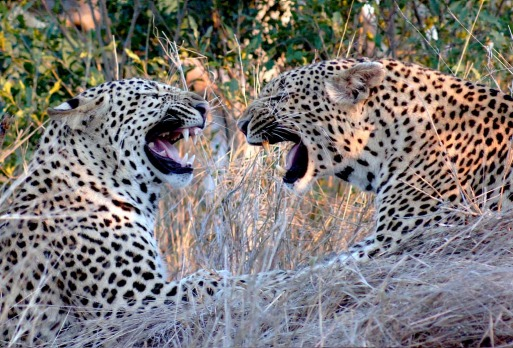 Family feud ... a mother leopard (R) and her sub-adult son in a disagreement.