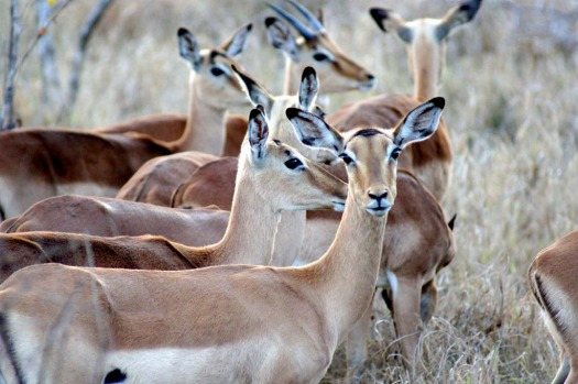 Common sight ... Sabi Sands abounds with impala.