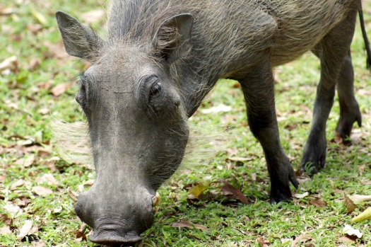 Not so cute ... a warthog in the grounds of Dulini Lodge.