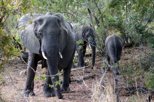 A herd of elephants by a dry riverbed in Sabi Sands.