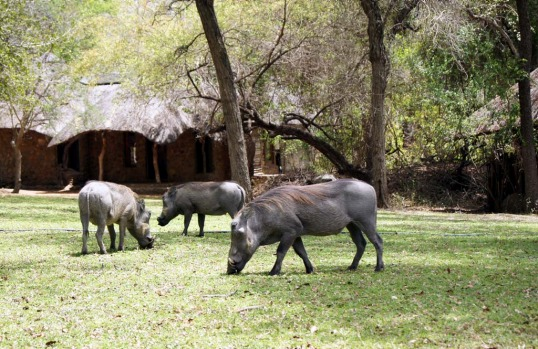 Grass grazing ... a group of warthogs wander through Dulini Lodge.