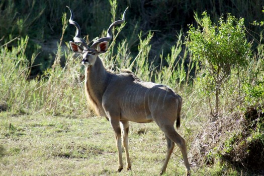 A huge male kudu ... they make for tasty eating.