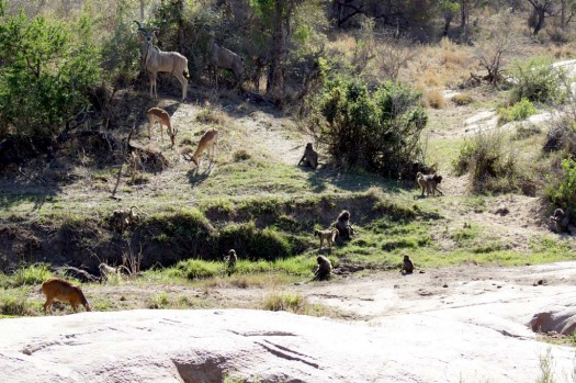 A troop of baboons approach Leadwood Lodge as kudu and other antelope look on.