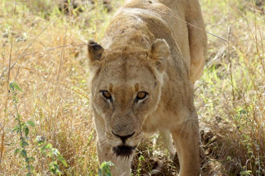 Stared down ... a huge lioness shows an unhealthy interest in the photographer.