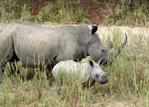 A young rhino with its mother wanders along a dry riverbed.