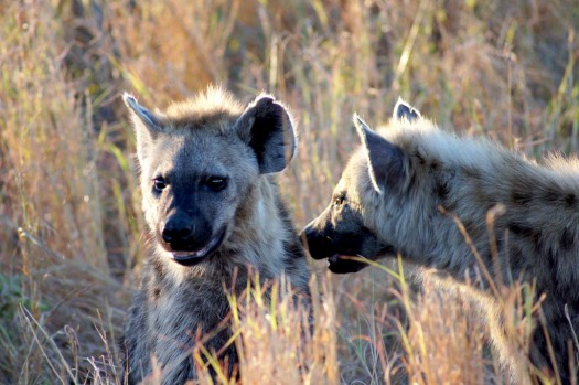 A pair of hyenas meet as the sun begins to set.