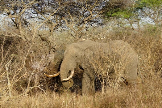 Big tusker ... a huge bull elephant close to Kirkman's Kamp.