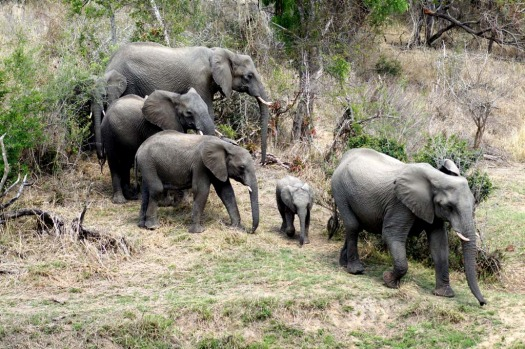 Elephant walk ... a herd passes Leadwood Lodge while we eat breakfast.