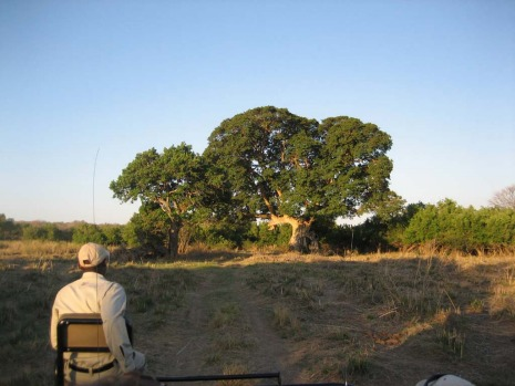 The safari vehicle approaches a huge tree.