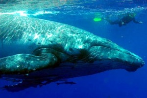 Big blue ... a swimmer with humpbacks in the Ha'apai island group.