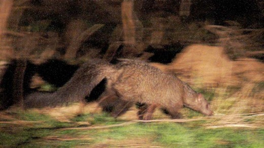 Shot on the run ... the rarely seen - or photographed - Meller's mongoose.