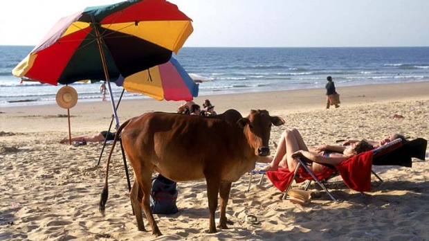 Hippie paradise ... cows hang out on the beach in Goa.