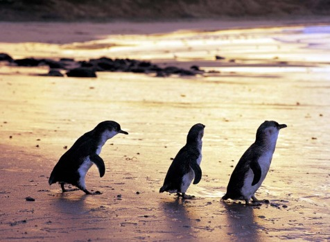 Philip Island, Victoria. Besides being well known for its Grand Prix Circuit, the island is also famous for the penguin ...