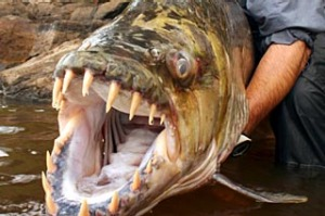 Jeremy Wade with a Congo tigerfish.