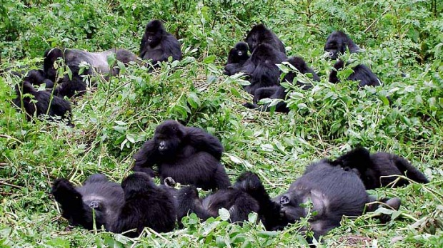 Beyond the highlights ... Rwanda's gorillas in the sunshine.