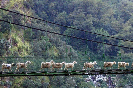 Mountain goats across a bridge in the Kumaon hills of India.