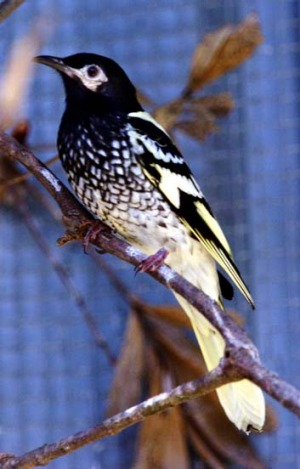 Wings and a prayer ... the regent honeyeater.