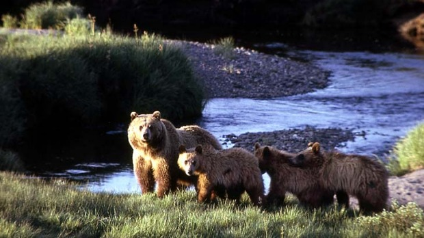 A grizzly bear sow with three cubs at Yellowstone National Park.