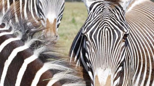 Join the herd ... zebras roam the B. Bryan Preserve.