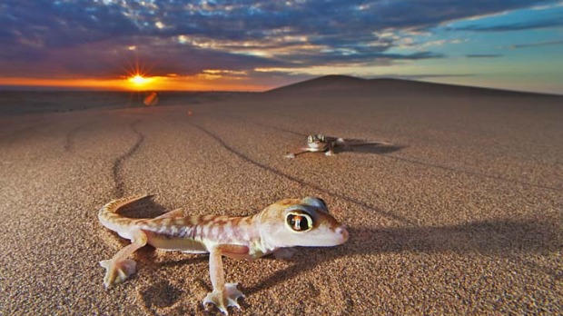Sea of sand... a web-footed gecko leaves a telltale trail in the Namibian desert.